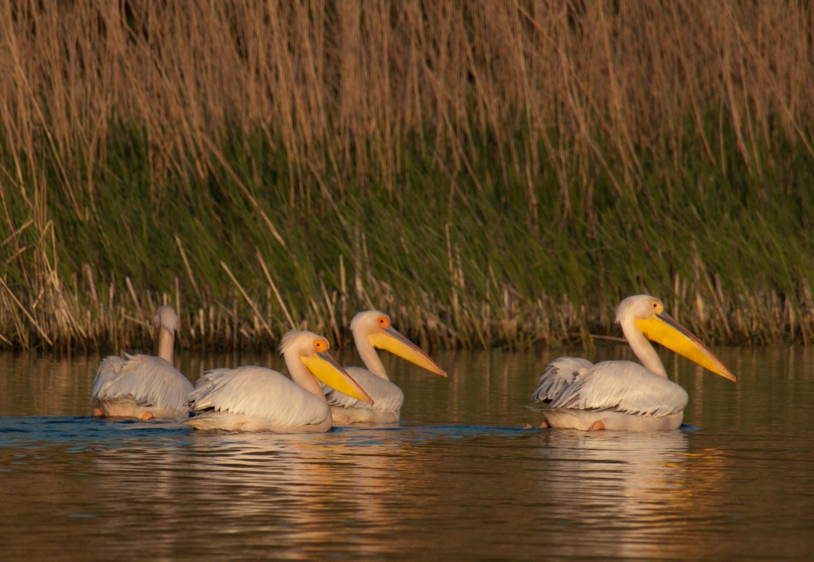 2011-05-0751deltadunarii-pelicanisomnorosi1